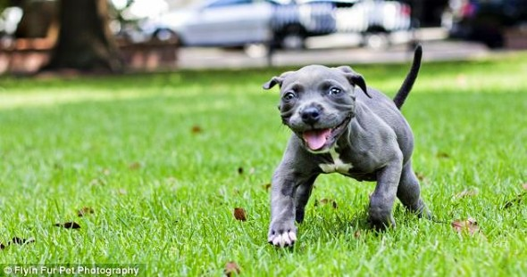 7.31.13-Deformed-Puppy-Learns-to-Walk11-590x311